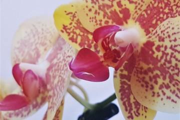 Orchidea Selvaggia