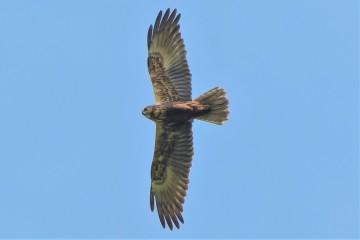 Falco di palude femmina