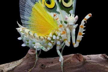 spiny flower mantis pseudocreabotra wahlbergii